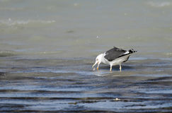 Uma gaivota que come peixes Foto de Stock Royalty Free