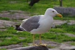 Uma gaivota que espera seus amigos Fotografia de Stock