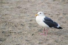 Uma gaivota que está apenas em uma praia do Oceano Pacífico imagem de stock