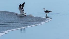 Uma gaivota que olha outra preparar-se para voar afastado imagens de stock royalty free