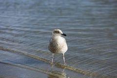 Uma gaivota que procura o alimento ao longo da linha costeira Fotografia de Stock