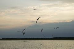 Uma gaivota que voa sobre o lago Foto de Stock Royalty Free