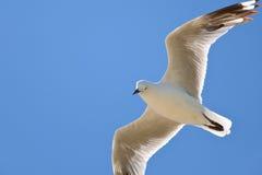 Uma gaivota solitária imagem de stock