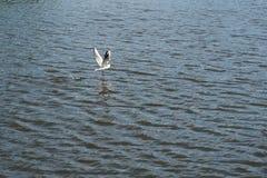Uma gaivota voa acima das ondinhas da água Fotos de Stock Royalty Free