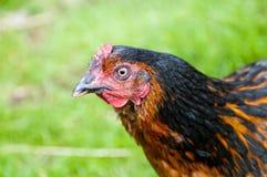 Uma galinha Fotos de Stock Royalty Free