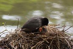 Uma galinha-d'água preta - protege-o jovens fotografia de stock royalty free