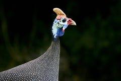 Uma galinha de Guiné Imagem de Stock