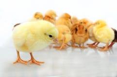 Uma galinha do dia Fotografia de Stock