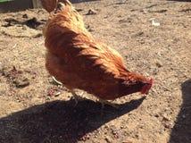 Uma galinha dos animais está comendo na exploração agrícola Fotografia de Stock