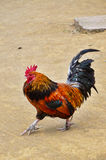Uma galinha masculina que anda, corpo completo do galo Fotos de Stock
