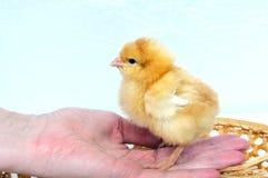 Uma galinha pequena em uma mão Fotos de Stock