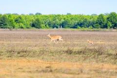 Uma gama branco-atada e sua jovem corça andam através de um campo na reserva natural calva do botão no botão calvo fotografia de stock