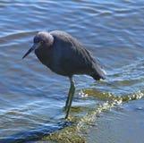 Uma garça-real azul em uma costa do rio Fotos de Stock Royalty Free