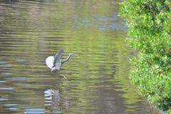 Uma garça-real azul entra para uma aterrissagem da água no pântano de Amelia Island imagem de stock