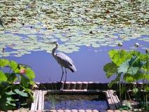 Uma garça-real cinzenta que está na borda de uma lagoa Foto de Stock