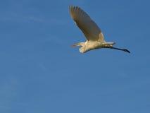 Uma garça-real em voo contra um céu azul Imagem de Stock Royalty Free