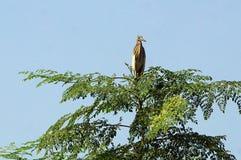 Uma garça-real indiana da lagoa na árvore Imagens de Stock Royalty Free