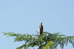 Uma garça-real indiana da lagoa na parte superior da árvore Foto de Stock
