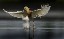 Uma garça-real javanese que levanta com espalhamento de suas asas imagens de stock