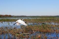 Uma garça-real voa sobre uma região pantanosa Foto de Stock