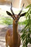 Uma gazela bonita Fotos de Stock