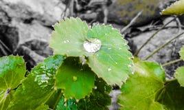 Uma gota da chuva Imagens de Stock