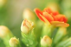 Uma gota da chuva na flor fotografia de stock royalty free