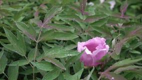 Uma gota do orvalho em uma flor cor-de-rosa da peônia que floresce em um close-up do arbusto com folhas verdes, disparando no ver filme