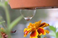 Uma gota que pendura sobre a flor do cravo-de-defunto Imagens de Stock