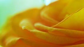 Uma gota salta em uma rosa amarela filme