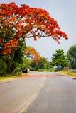 Uma grande árvore do poinciana Fotografia de Stock Royalty Free