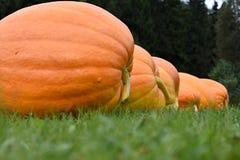 Uma grande abóbora madura na grama verde Uma pilha de abóboras em seguido Imagem de Stock
