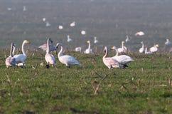 Uma grande acumulação do inverno de cygnus do Cygnus da cisne de whooper imagem de stock royalty free
