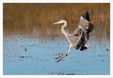 Uma grande aterrissagem da garça-real na água Fotos de Stock Royalty Free