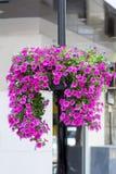 Uma grande bola de petúnias cor-de-rosa na rua Imagem de Stock Royalty Free