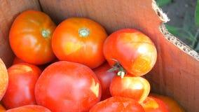 Uma grande colheita deliciosa dos tomates que são mentira recolhida em uma caixa de cartão perto da vista Lances fêmeas da mão filme