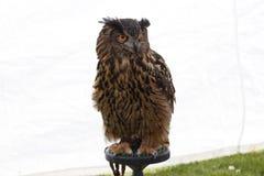 Uma grande coruja horned impressionante foto de stock royalty free
