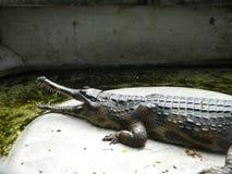 Uma grande família dos crocodilos vive na água verde fotos de stock royalty free