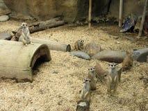 uma grande família dos meerkats em Colômbia Risaralda foto de stock royalty free