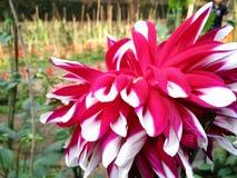 Uma grande flor bonita Foto de Stock Royalty Free