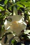 Uma grande flor branca no jardim Imagens de Stock