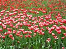 Uma grande flor vermelha da cúrcuma fotos de stock