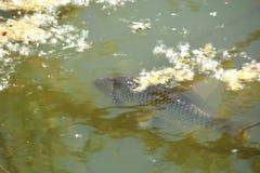 Uma grande natação da carpa Imagens de Stock