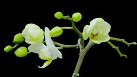 Uma grande orquídea branca de Cattlea abre neste quadrilátero 4K ultra video estoque