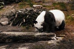 Uma grande panda que estão entre rochas e plantas verdes ao lado do log e ramos do eucalipto Fotografia de Stock