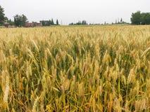 Uma grande parte de campo de trigo na porta, imagens de stock royalty free