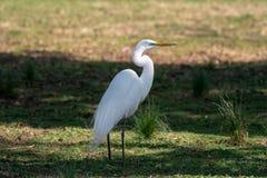 Uma grande posição do egret na grama na máscara fotografia de stock royalty free