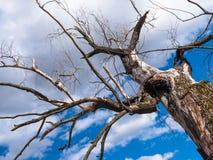 Uma grande ?rvore inoperante velha estica seus ramos como se era como se com um argumento a um c?u azul brilhante atrav?s de que  imagem de stock