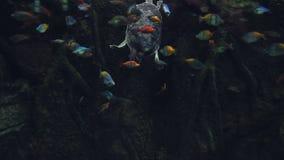 Uma grande tartaruga de mar aumenta lentamente da parte inferior do aquário cercado por um rebanho de peixes pequenos filme