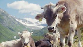 Uma grande vaca alpina está olhando a grama e o rebanho está descansando no prado alpino, picos de montanha nevado surpreendentes filme